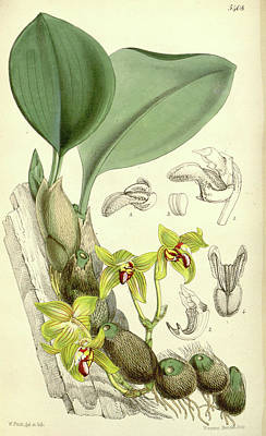 Blooming Drawing - Botanical Print By Walter Hood Fitch 1817 – 1892 by Quint Lox