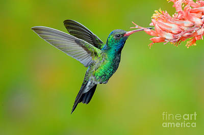 Broad-billed Hummingbird Photograph - Broad-billed Hummingbird by Anthony Mercieca