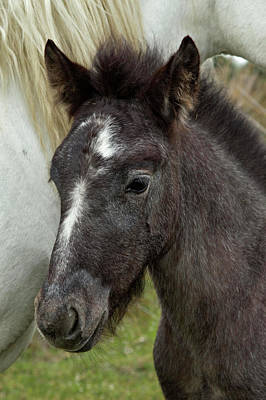 Foal Photograph - Camargue Horse Foal, Southern France by Adam Jones