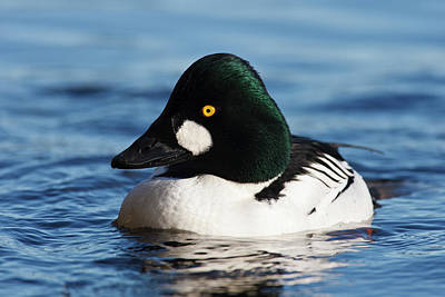 Goldeneye Photograph - Canada, British Columbia, Vancouver by Rick A Brown