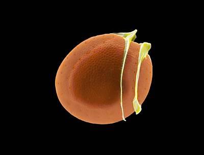 Diatom, Sem Art Print by Science Photo Library