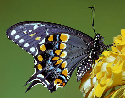 Photograph - Eastern Black Swallowtail Butterfly by Millard H Sharp