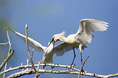 Spoonbills Photograph - Eurasian Spoonbill Or Common Spoonbill by Martin Zwick