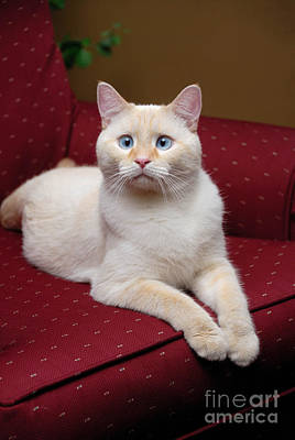 Portrait Photograph - Flame Point Siamese Cat by Amy Cicconi