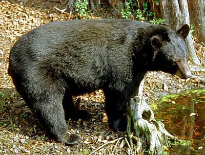 Photograph - Florida Black Bear by Millard H. Sharp