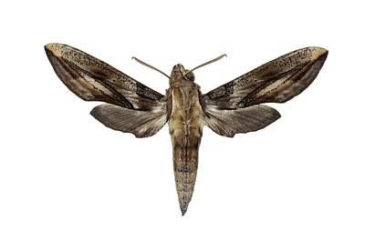 Hawk Moth Art Print by F. Martinez Clavel