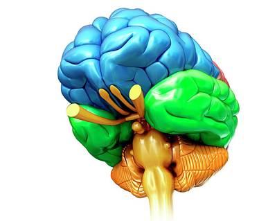 Human Brain Regions Art Print by Pixologicstudio/science Photo Library