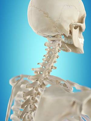 Human Spine Photograph - Human Cervical Spine by Sciepro