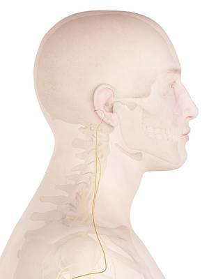 Human Nerves Art Print by Sciepro