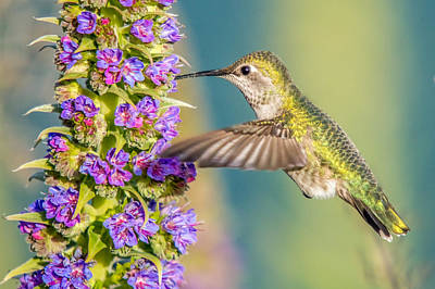 Photograph - Hummingbird Feeding by Pierre Leclerc Photography