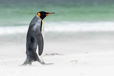 Aptenodytes Photograph - King Penguin (aptenodytes Patagonicus by Martin Zwick