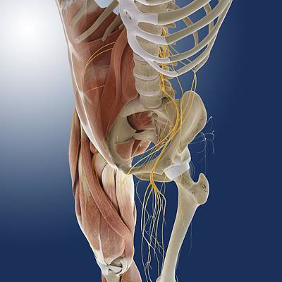 Sacral Plexus Photograph - Lower Body Anatomy, Artwork by Science Photo Library