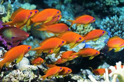 Goldie Photograph - Lyretail Anthias by Georgette Douwma