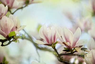 Fresh Photograph - Magnolia Flowers by Nailia Schwarz