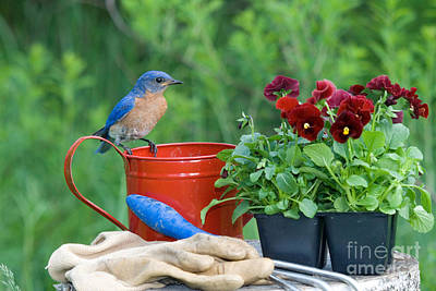Photograph - Male Eastern Bluebird by Linda Freshwaters Arndt