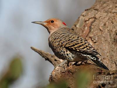 Photograph - Northern Flicker Yellow-shafted by Jack R Brock