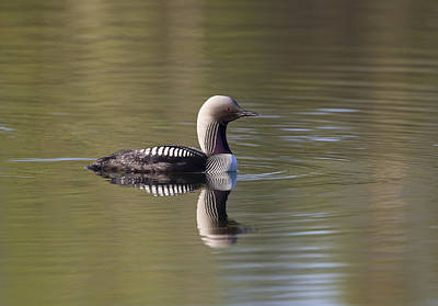 Photograph - Pacific Loon by Doug Lloyd