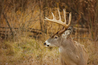 12 Point White-tail Art Print by Larry Bohlin
