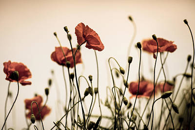 Fragile Photograph - Poppy Meadow by Nailia Schwarz