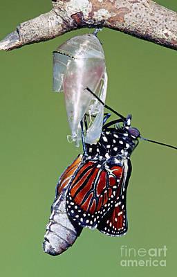 Queen Butterfly Art Print by Millard H. Sharp