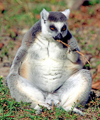 Lemur Catta Photograph - Ring Tailed Lemur by Millard H. Sharp