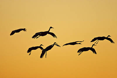 Wild Wings Photograph - Sandhill Crane (grus Canadensis by Larry Ditto