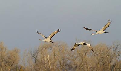 Trio Photograph - Sandhill Cranes (grus Canadensis by William Sutton