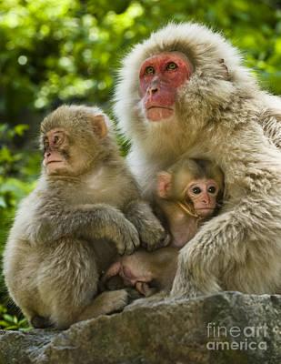 Photograph - Snow Monkeys, Japan by John Shaw