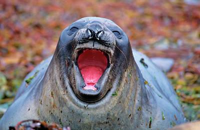 Carcass Photograph - Southern Elephant Seal (mirounga Leonina by Martin Zwick
