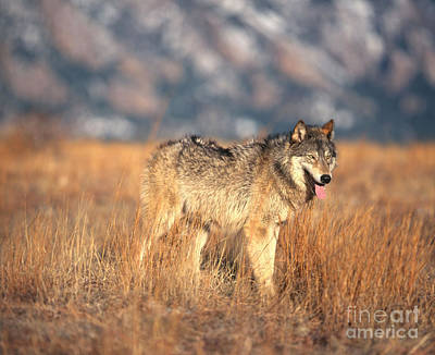 Wolf Wall Art - Photograph - Timber Wolf by Hans Reinhard