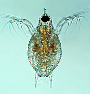 Daphnia Photograph - Water Flea by Marek Mis