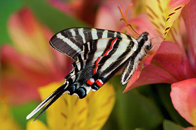 Peruvian Lily Photograph - Zebra Swallowtail North American by Darrell Gulin