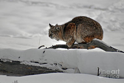 Photograph - 121p Bobcat by NightVisions