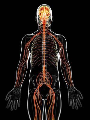 Human Brain Photograph - Human Nervous System by Sebastian Kaulitzki
