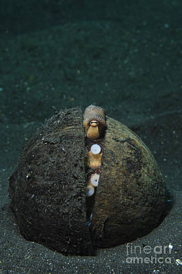 A Coconut Octopus, Lembeh Strait Print by Steve Jones