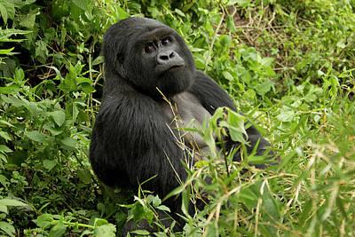 Silverback Photograph - Africa, Rwanda, Volcanoes National by Joe and Mary Ann Mcdonald