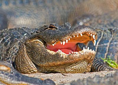 Photograph - American Alligator by Millard H. Sharp