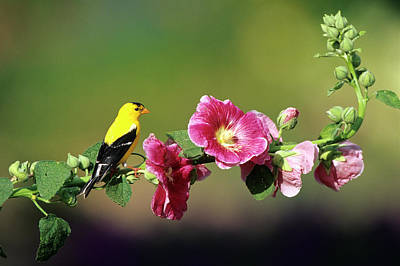 Hollyhock Photograph - American Goldfinch (carduelis Tristis by Richard and Susan Day