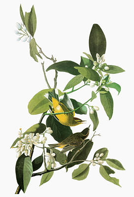 Yellow Beak Painting - Audubon Warbler by Granger