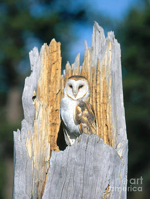Photograph - Barn Owl by Hans Reinhard