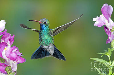 Broad-billed Hummingbirds Photograph - Broad-billed Hummingbird by Anthony Mercieca