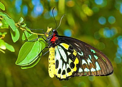 Photograph - Cairns Birdwing Butterfly by Millard H. Sharp