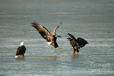 Eagle Photograph - Eagle Fight by Robert Smice