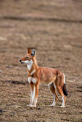 Bale Photograph - Ethiopian Wolf (canis Simensis by Martin Zwick