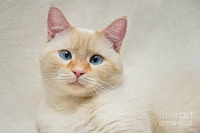 Face Photograph - Flame Point Siamese Cat by Amy Cicconi