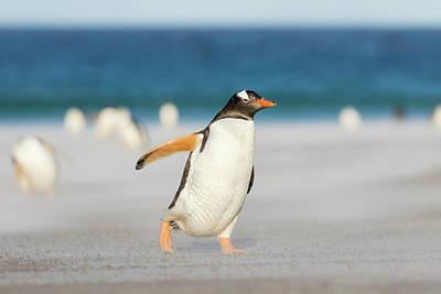 Gentoo Penguin (pygoscelis Papua Print by Martin Zwick