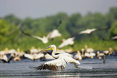 Danube Photograph - Great White Pelican (pelecanus by Martin Zwick