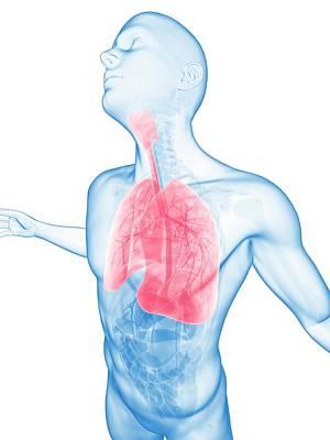 Human Lungs Art Print