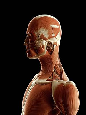 Biomedical Illustration Photograph - Human Muscular System by Sebastian Kaulitzki