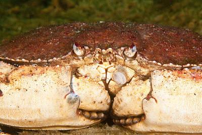 Jonah Photograph - Jonah Crab by Andrew J. Martinez